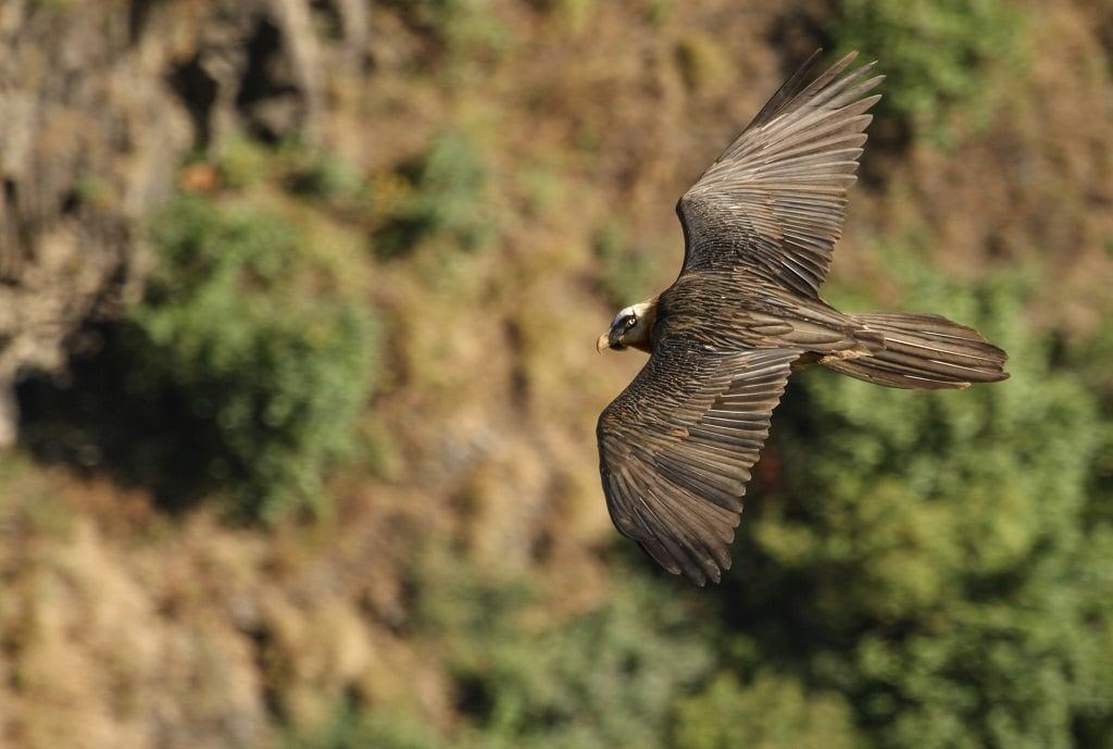 A bearded vulture flies in Ethiopia [Image: Evan Buechley / HawkWatch International]