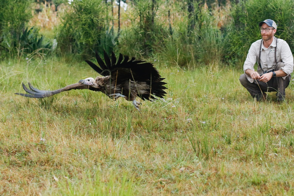 Dr. Evan Buechley releases a newly tagged Lappet-faced Vulture in Ethiopia [Image: Neil Paprocki / HawkWatch International]