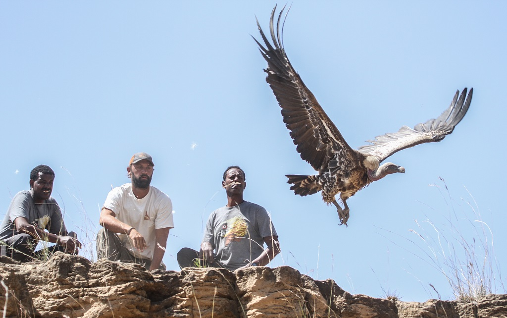 The Vanishing Vultures crew (Alazar Daka, Neil Paprocki, and Sisay Seyfu) releases an adult Ruppell's Vulture (Critically Endangered) back into the wild after fitting it with a satellite tracking device. [Image: Evan Buechley / HawkWatch International]