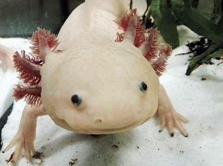 The amazingly regenerative Axolotl. (Image courtesy of th1098.)
